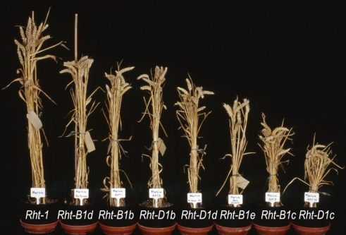 Einkorn Wheat becomes Dwarf Wheat - Travels in Transmedia
