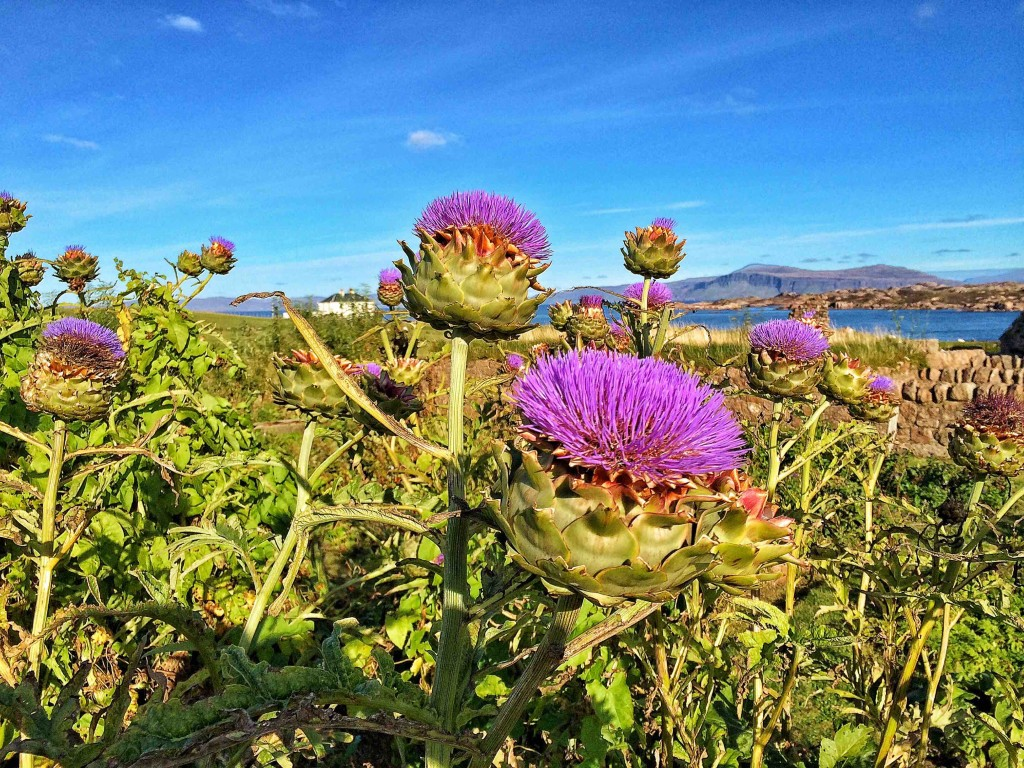 The Thistle Flower in Iona, Scotland